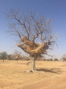 Burkina Faso tree